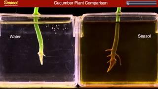 Growing a Cucumber Seedling in Seasol Plant Tonic