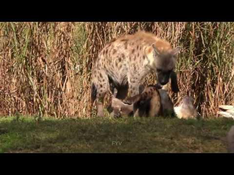 Xxx Mp4 Hyena Sex Mating Uncensored 3gp Sex