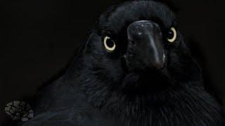 ١٠ حقائق مذهلة عن الغربان