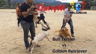 bull terrier vs golden retriever DanyM GRATIS Entrenamiento y Veterinario