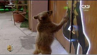 دخول الدب كعبول واستقبال الشباب له   #زد_رصيدك98