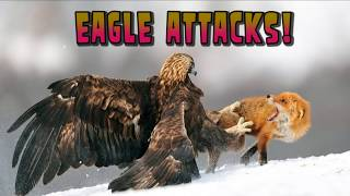 Eagle Attacks Pig, Man, other Animals - Eagle Attack Video Compilation