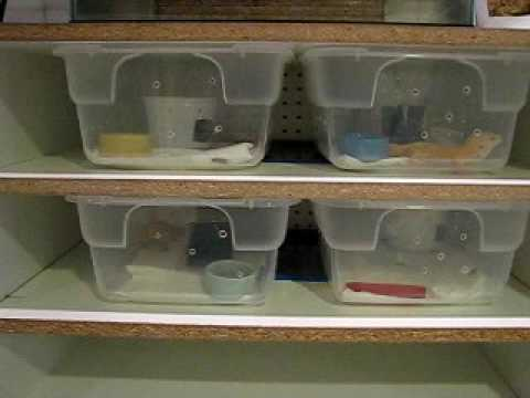 leopard gecko breeding rack.