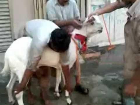Goat qurbani 2011 2 of 2 goats