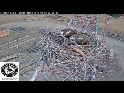 8/8/17..PLH Osprey Cam ~ Time To Fill Up