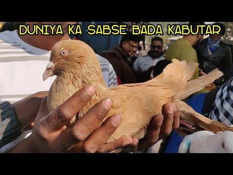 Xxx Mp4 Biggest Pigeon In The World Duniya Ka Sabse Bada Kabutar 3gp Sex