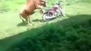 Bull tries having sex with motor bike