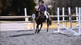 "Horse For Sale - ""Gio"" - 2006 16.3 Dark Bay Thoroughbred Gelding"