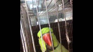 The parrot who talks in Bangla