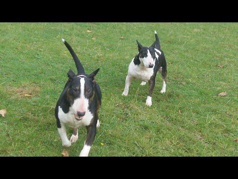 xxx English Bull Terriers Bailey & Poppy. xxx