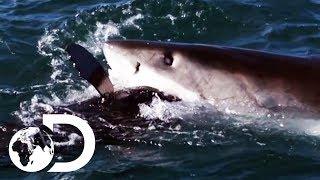How The World's Deadliest Sharks Hunt For Prey | Shark Week 2019 | Discovery UK