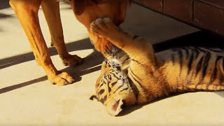 Tiger Cubs Playing With Dogs | Tigers About The House | BBC