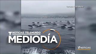 Una Manada De Delfines Sorprende A Turistas En California   Noticias Telemundo