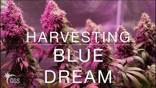 RIDING DONKEYS INTO THE SUNSET: Harvesting Organic Cannabis (Blue Dream)