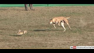 coursing dogs 2019 | dog race | galgos y liebres | greyhound vs rabbit