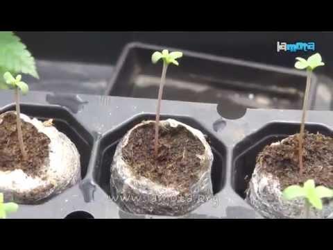Como germinar semillas de marihuana