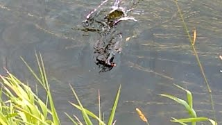 Caught in act: a vicious mink is killing a Water Hen duck. Агрессивная норка убивает водяную утку.