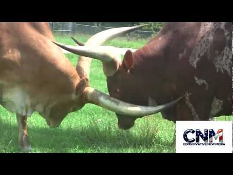 Two Ankole Watusi Bulls Fighting or sparring with their MASSIVE HORNS in 1080P HD