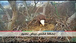 بي_بي_سي_ترندينغ: لقطات فيديو للحظة فقس فرخي نسور من البيض
