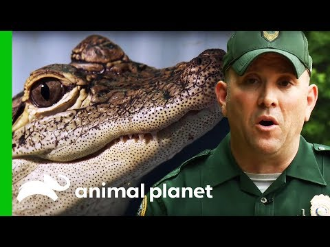 Officers Re Home Baby Alligator Being Kept As A Pet North Woods Law