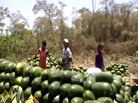 Trabajo colectivo en cosecha de sandías. Casitas Tumbes Perú