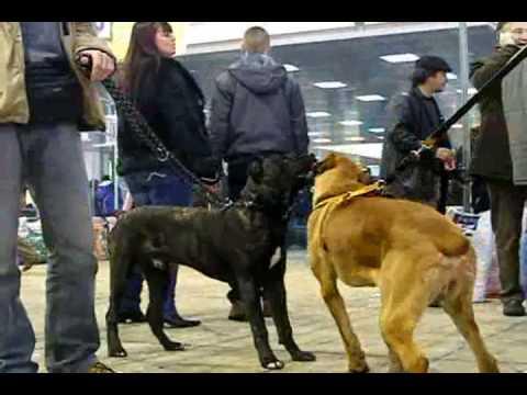 Srpski Odbrambeni Pas CACIB Beograd 2010 Serbian Defence Dog