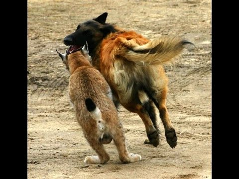 Lynx Fights Off 2 Kangal Dogs | Lion Brutally Kills Hyena!!!