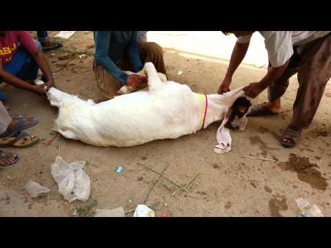 2k15 Goat s Qurbani