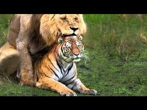 Xxx Mp4 ANIMALS MATING LION MATING VS TIGER MATING VS LEOPARD MATING 3gp Sex