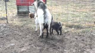 BILLY GOAT GETTING IT DONE!  Breeding/Mating Horny Male Goat!