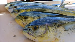 Fish So NICE They Named it Twice!  Mahi-Mahi (Dorado)-  Catch, Clean and Cook!!!