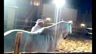 Arabic Horse in Action
