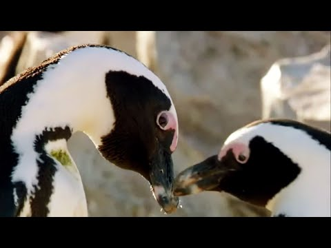 Best of Penguins Top 5 BBC Earth