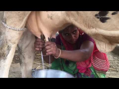 Indian cow Milk full length live video