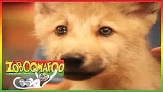 ▶ Zoboomafoo 2018 Episodes 111 - Fierce Creatures - Zoboomafoo Full Episodes 2018