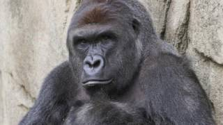 A TRUE FRIEND -- RIP HARAMBE (TRIBUTE SONG)