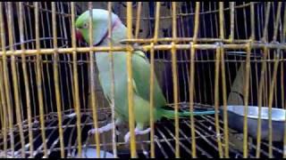 Mittu - the talking parrot of my friend