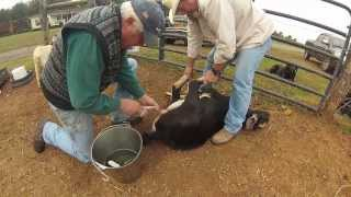 Gathering Nuts-Goat Castration