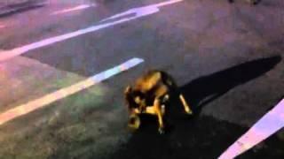 Gal dog