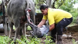วินาทีกำเนิดชีวิตใหม่ควายไทย, อุบลราชธานี : Born in Buffalo : Thailand