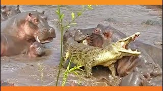 30+ Hippos Attack One Crocodile