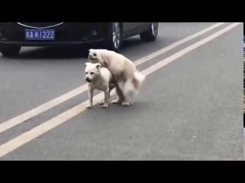 OMG Two Gay Dogs Fuck Each Other/两只狗互操