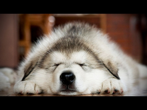 Cute Husky Puppies 😍 Funny and Cute Huskies [Funny Pets]