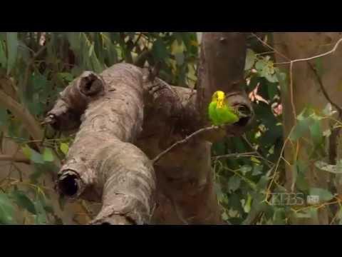Documentario Periquitos Australiano Selvagem