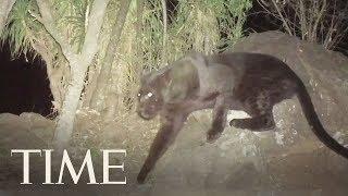 Rare Footage Of A Black Leopard In Kenya: