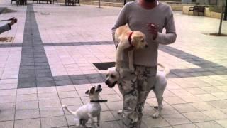 horney dog labrador and jack rusell