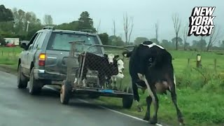 Desperate cow chases after her calves on their way to slaughter | New York Post