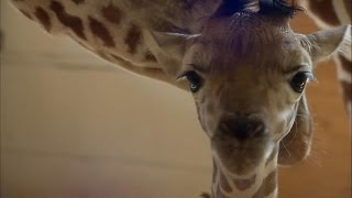 'GMA' Hot List: Jordan Patch shares the latest news on April the giraffe's calf