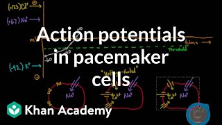 Action Potentials in Pacemaker Cells