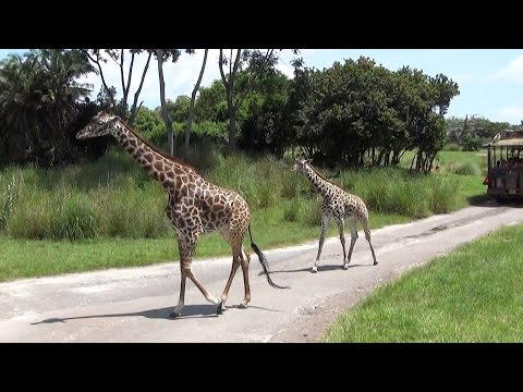 Kilimanjaro Safaris FULL Ride at Disney's Animal Kingdom, Front Row POV, Lots of Animal Views